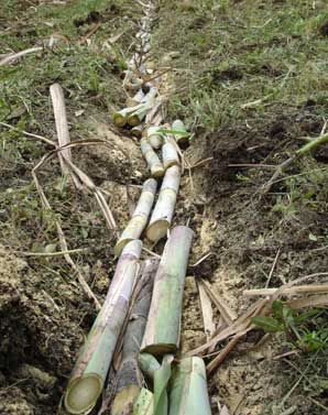 Organic Cane in Paraguay