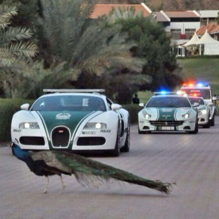 Peacocks have the right of way at the Hatta Fort Hotel. Even if Dubai Police brings out their super cars!