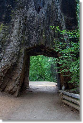 Tunnel Tree, Tuolumne Grove
