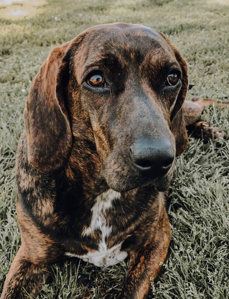 Lola our 2 year old plott hound dogpictures dogs aww