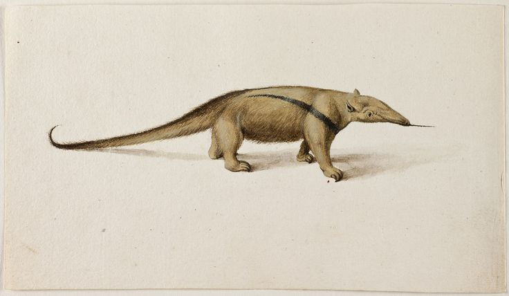 Southern Tamandua [Lesser Anteater], Frans Post (1612–1680), watercolor and gouache, with pen and black, c. 1638–44, Noord-Hollands Archief, Haarlem