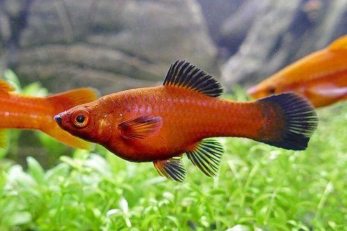 30-gallon-Swordtail-fish-tank