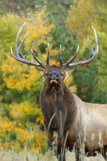 Bull Elk in Aspen Trees   von Peter Eades                                                                                                                                                                                 More