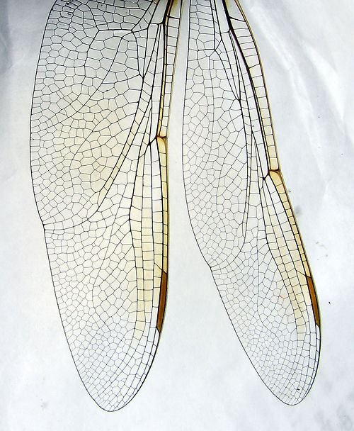 structural veins : evolved by the dragonfly over millions of years for maximum  strength / minimum weight .