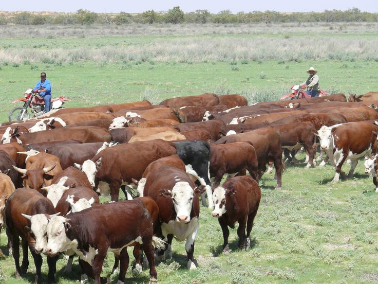 OBE-Organic-cattle-in-the-Channel-Country-grasslands-of-Australia-2[1]
