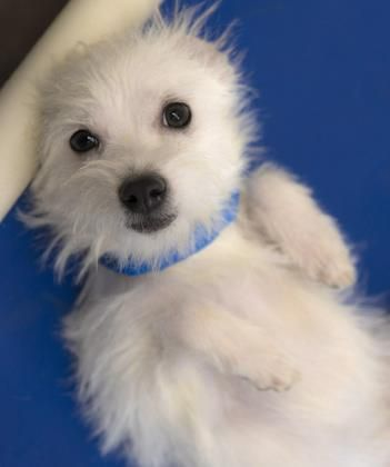 Meet Stevie, an adorable male Chihuahua/Maltese mix. This ...
