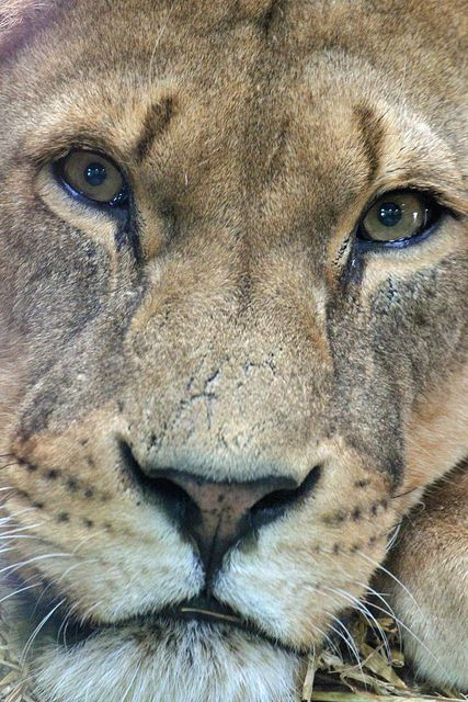Top 43 ideas about Lioness on Pinterest   Lion tattoo ...