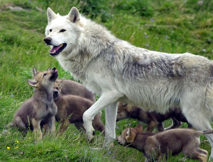 A plan to protect wolves in France could see their population swell to 500 in the next five years. The proposal - which would increase the number of wolves by around 40 per cent - is designed to ensure the survival of the species in France.http://ift.tt/2CvFU8c