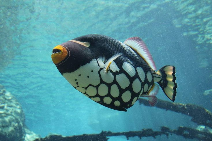 CLOWN TRIGGERFISH - See more at http://www.markmetcalfe.co.za/