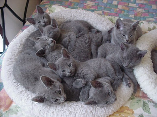 basket of gray cats! CORRECTION!!! Basket of Russian Blue kittens! PLEASE! These are NOT just ordinary grey cats but the most extraordinary cats in the world! I lived with two for more than 15 years and there is no other cat like them!