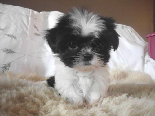 CKC xxx-tiny   female imperial Shih-Tzu puppy