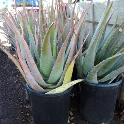 17 best images about landscaping plants for new house on pinterest jasmine arizona and aloe vera. Black Bedroom Furniture Sets. Home Design Ideas