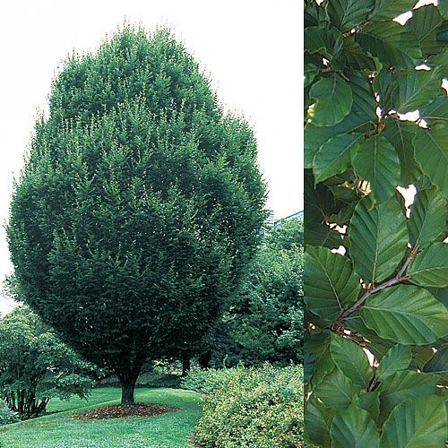 9 best images about top10 narrow trees on pinterest for Narrow trees for tight spaces