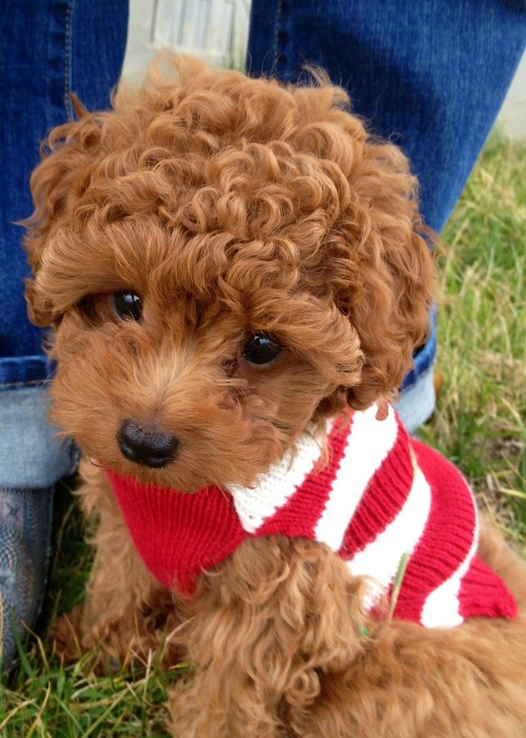 Red Toy Dogs : Dogs that are ideal for small apartments