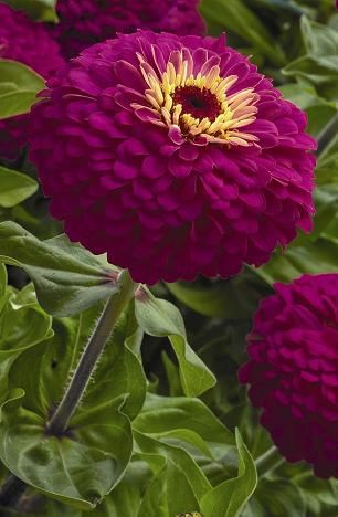 Zinnia 'Uproar Rose' - did you know zinnias would grow in partial shade?
