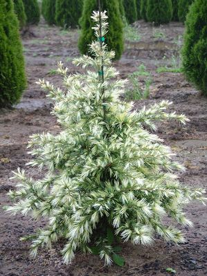 Cedrus deodara 'Cream Puff' Fragrant Deodor Cedar Looks like an angel tree