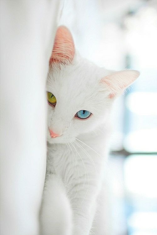 beautiful white cat with two different colored eyes