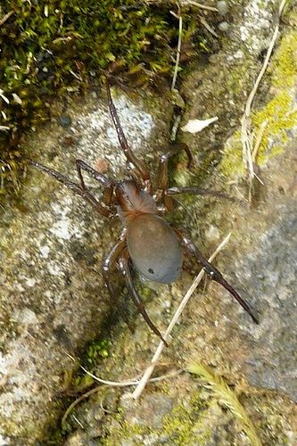 Araña acuática - Argyroneta aquatica