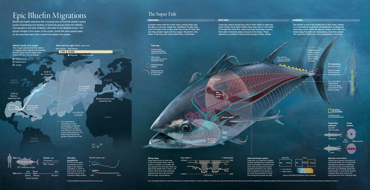 EPIC BLUEFIN MIGRATIONS --- Gatefold magazine graphic shows anatomical drawings of these giant fish while maps depict epic migrations across the Atlantic Ocean. More info at http://ngm.nationalgeographic.com/2014/03/bluefin-tuna/superfish-interactive Map: Ryan Morris. Graphic: Fernando G. Baptista and Lawson Parker. Published on March 2014.