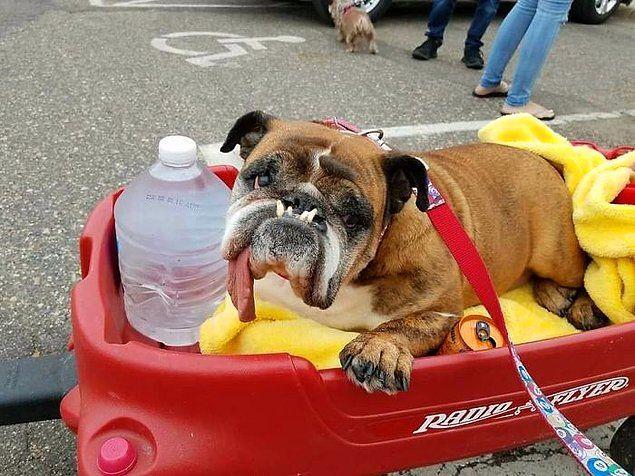 Dünyanın En Çirkin Köpeği Belli Oldu Yarışmanın Kazananı İngiltereden Çıktı 94
