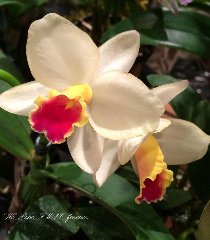 #洋ラン  #洋ラン展  #花  #flower  #flowers  #flowerphotography  #flowerpower  #flowerslovers  #flowerstagram  #whiteflowers  #ig_flowers  #ig_japan  #iphone  #iphonephoto  #スマホカメラ  #スマホ越しの私の世界  #スマホで撮る私の世界  #花が好き  #花が好きな人と繋がりたい  #私の_世界に一つだけの花  #smap_fan_action  #smap_forever  #we_love_smap_forever  #カンヌ映画祭2017  #スマ写真部  #インスタスマ部 http://gelinshop.com/ipost/1518524150528148542/?code=BUS4atfFQQ-