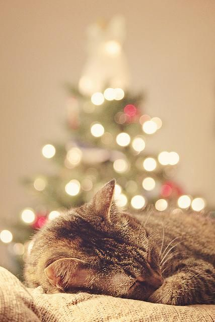 Holiday lights set the ambience for cat naps.