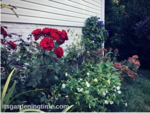 A Garden Full of Perennials Minimizes Time Work & Expense! We have all perennials in a garden along the side of our home, and it saves money, time, and garden work! #garden #gardens #gardening #gardeningtips #plants #perennial #perennials #flower #flowers #shrub #shrubs #gardeningtipsforbeginners #flowerphotography