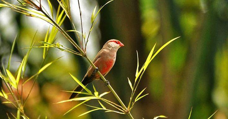 Bico-de-lacre é ave exótica trazida da África do Sul no século 19