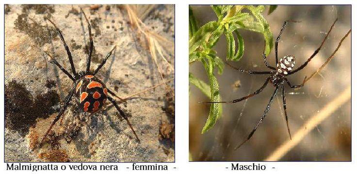 [caption id= align=aligncenter width=781] Vedova nera femmina - vedova nera maschio Latrodectes tredecimguttatus[/caption]         Si ritiene erroneamente che il morso dei ragni nostrani