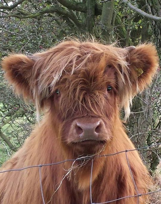 Adorable baby highland cow #coo