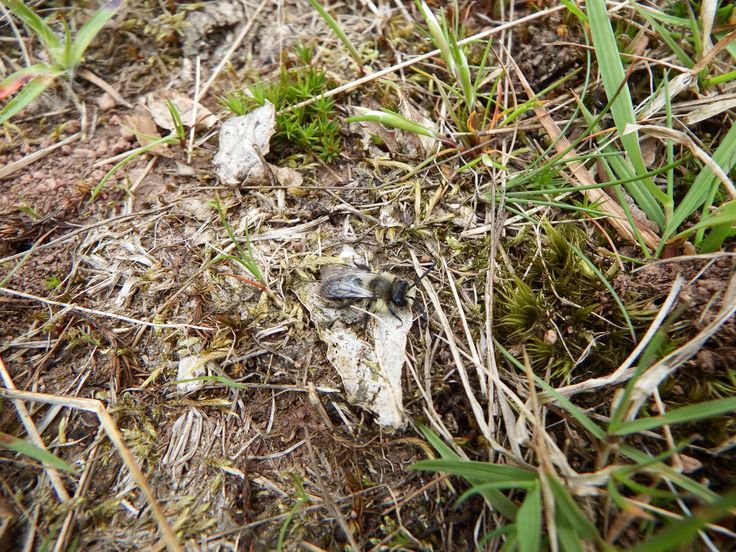 The Ashy Mining Bee or Grey Mining Bee is a European species of the Sand Bee.  These were spotted on camera by Carl Hawke on 30 April whilst visiting Calke, Derbyshire.