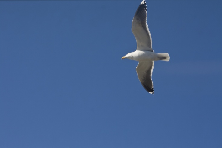 Staten Island Seagull