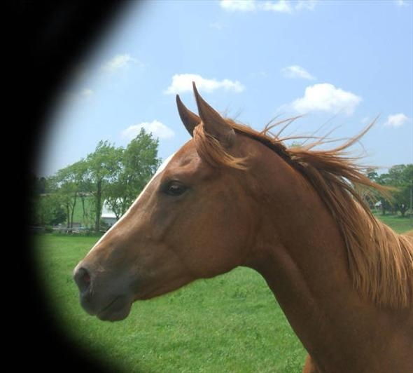 Quarter Horse Gelding For Sale in Ontario, Canada