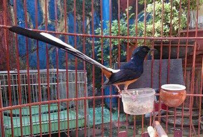 Makanan / Pakan Murai Batu Harian Agar Cepat Gacor danSehat –Dalam menangkar burung bernama latinCopsychus malabaricus ini memang sangatdiperlukankesabaran, ketelatenan, dan tingkat kehati-hatian yang ekstra. Apabila hal-hal sedemikian rupatidak lebih diperhatikan lagi, maka sangat dikhawatirkan kalau untuk kedepannya burung berbadan gagah iniakan cenderung kurang sehat dan aktif gacor. Selain harus konsisten dan telaten dengan pola …