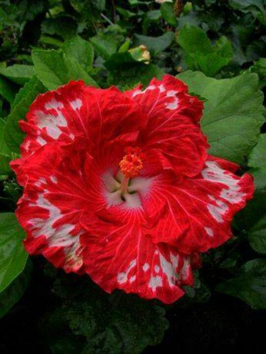 Hibiscus Cherry appaloosa