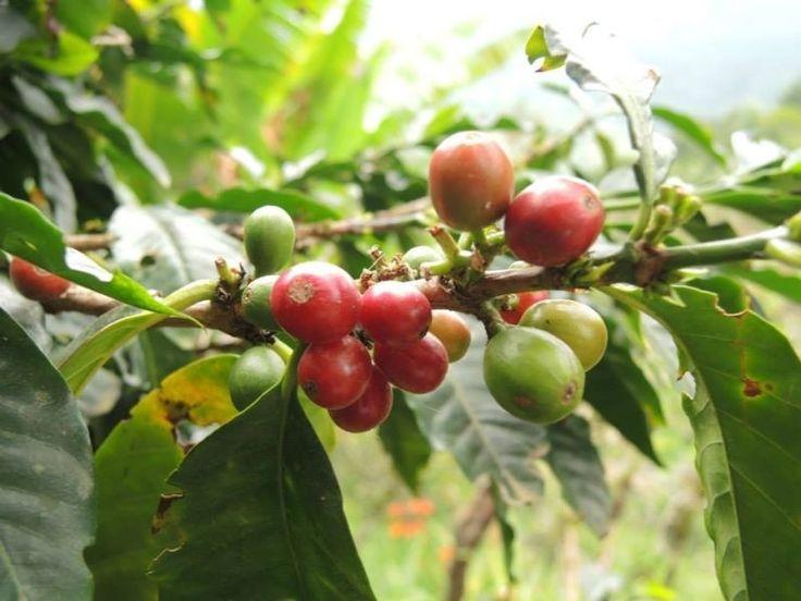 """""""Salento was de eerste stop na Bogotá en Salento is gelegen in de koffiestreek van Colombia, het kon natuurlijk niet anders dat we hier weer een koffietour hebben gedaan. De koffietour was nu over het koffieproces voordat koffie geroosterd is, dus na deze tour hebben we het hele proces van zaadje tot kopje koffie gezien. Het was erg interessant op de plantage en heb weer veel nieuwe weetjes geleerd, ook niet koffie gerelateerd;) Ananassen groeien niet aan bomen maar aan planten?!"""""""