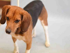 SUPER URGENT 12/24/16 Staten Island PEANUT – A1099671  ***RETURNED 12/24/16 – DOH HOLD***  NEUTERED MALE, BROWN / BLACK, BEAGLE MIX, 2 yrs RETURN – ONHOLDHERE, HOLD FOR DOH-B Reason BITEPEOPLE Intake condition UNSPECIFIE Intake Date 12/24/2016, From NY 10308, DueOut Date 12/24/2016,