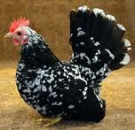 The Japanese Bantam Chicken » Everything Poultry