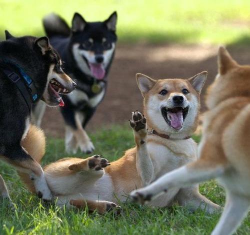 shiba partyAnimal Pics, Outdoor Activities, Shiba Dogs, Hunger Games, Shiba Inus, Shiba Parties, Black, Dogs Parks, Shibainu