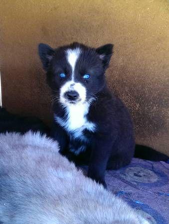Husky/wolf mix puppy :)