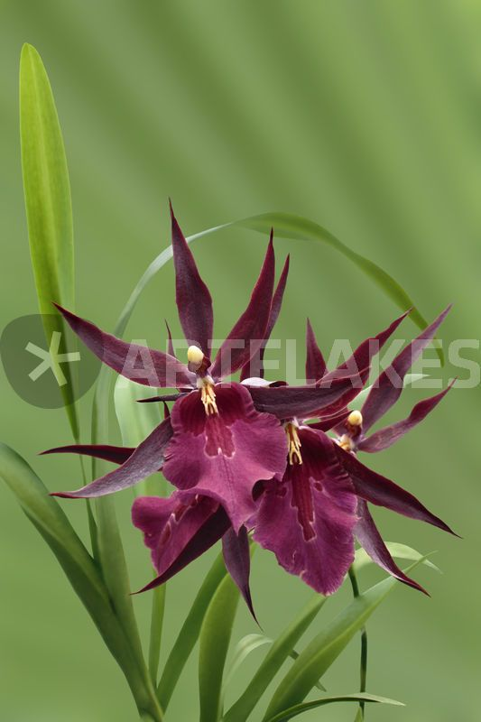 """""""Orchidee-Miltassia Royal Robe-orchid"""" Photography art prints and posters by monarch - ARTFLAKES.COM"""