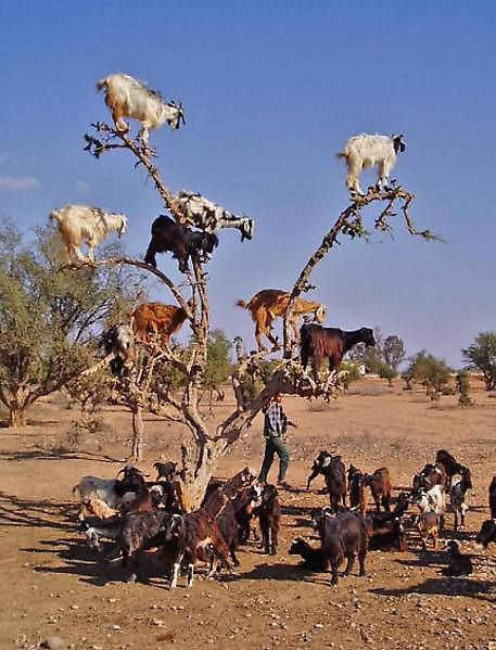 tree climbing goats Have you ever seen tree climbing goats? Apparently goats on the trees is a common thing in Morocco. Moroccan goats unbelievably, easily get on the highest tops of Argan trees to reach some loved fruit similar to olives