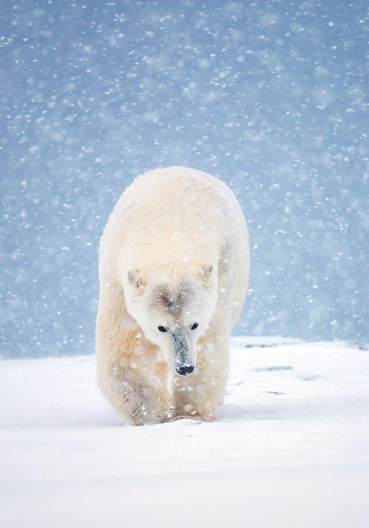 Polar Bear 42 D 25 25+ best ideas ...