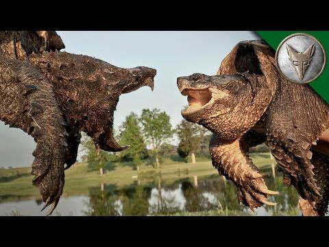 Alligator Snapping Turtle vs Common Snapping Turtle - YouTube
