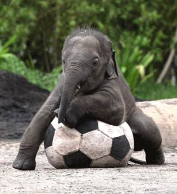 This cute, clumsy baby elephant kicks the ball around for a bit, falling down here and there and amusing every human in attendance.