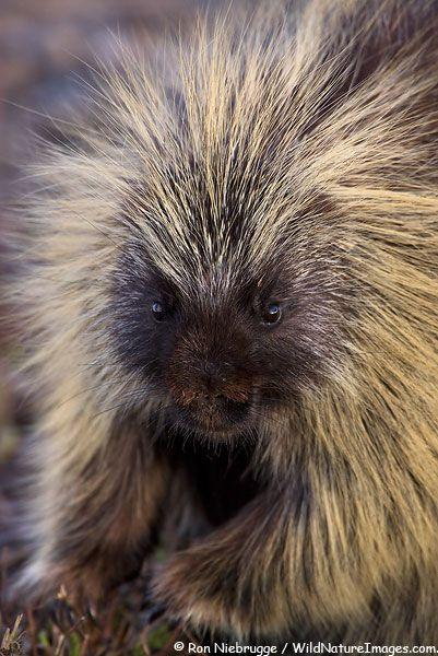 44 best Porcupines!!! images on Pinterest | Animals, Wild animals ...