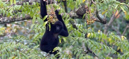 Cao vit gibbon population on the rise | Fauna & Flora International