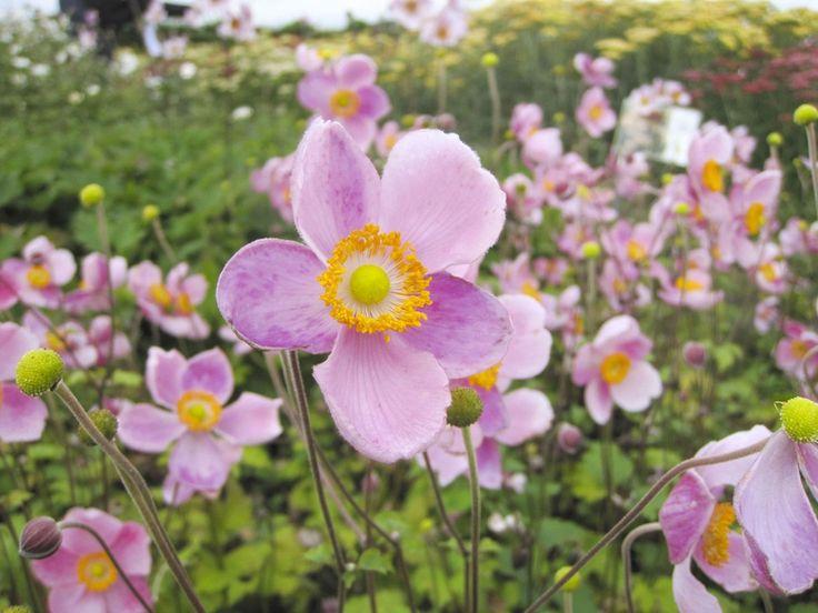 Anemone little princess Une jolie anémone du Japon rose. #anemone #fleur…#automne