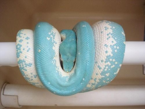 this would be the only snake i would own and it would never come out of the cage cause they scare me but its pretty