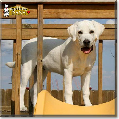 Read Dash's story the Yellow Labrador Retriever from Marion, Iowa and see his photos at Dog of the Day http://DogoftheDay.com/archive/2012/June/05.html .
